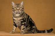 The American Shorthair Cat Breed