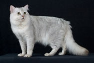 The Tiffany Cat Breed