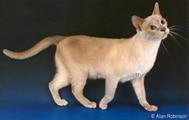 The Burmilla Cat Breed