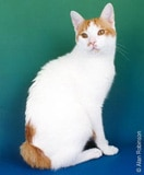 The Japanese Bobtail Cat Breed