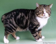 The Manx Cat Breed