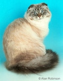 The Scottish Fold Cat Breed