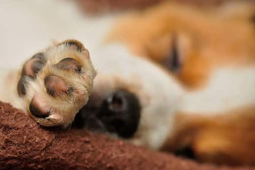 Close up of a beagle puppy's paw.