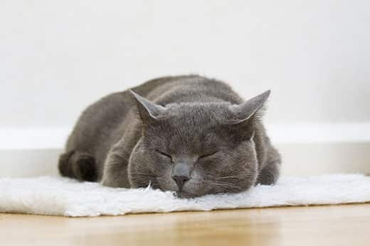 Gray cat asleep on white rug.
