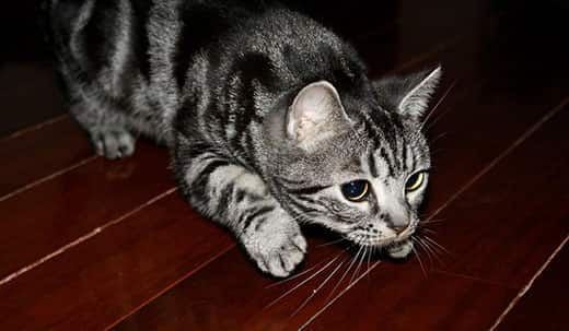 Gray spotted cat on hardwood floor in the pounce position.