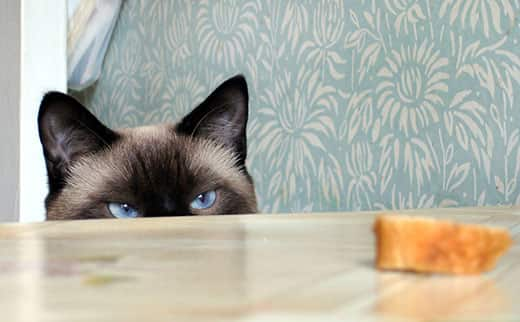 Blue-eyed Himalyan cat peeking over a table top looking at a slice of bread