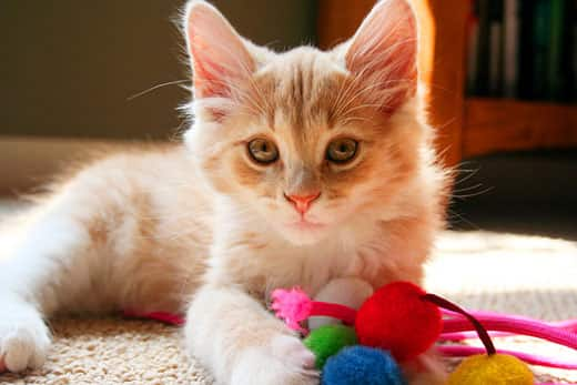 Orange and white kitten lays on the ground with a cat toy.