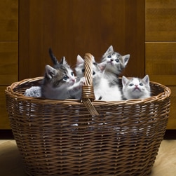Basket full of grey and white kittens