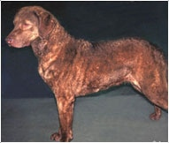 The Chesapeake Bay Retriever Dog Breed