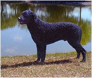 The Curly-Coated Retriever Dog Breed
