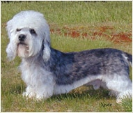 The Dandie Dinmont Terrier Dog Breed