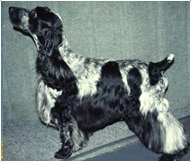 The English Cocker Spaniel Dog Breed