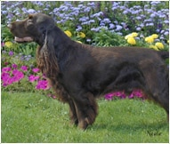 The Field Spaniel Dog Breed