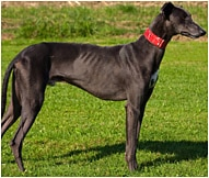 The greyhound Dog Breed
