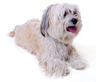 Havanese Dog Breed - Facts and Personality Traits | Hill's Pet