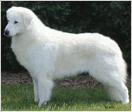 The Kuvasz Dog Breed