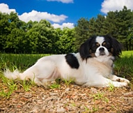 The Pekingese Dog Breed