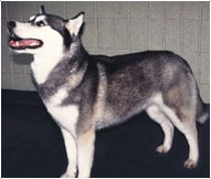 The Siberian Husky Dog Breed