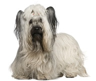 The Skye Terrier Dog Breed