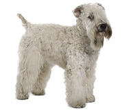 The Soft-coated Wheaten Terrier Dog Breed