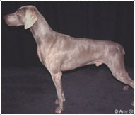 The Weimaraner Dog Breed