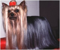 The Yorkshire Terrier Dog Breed
