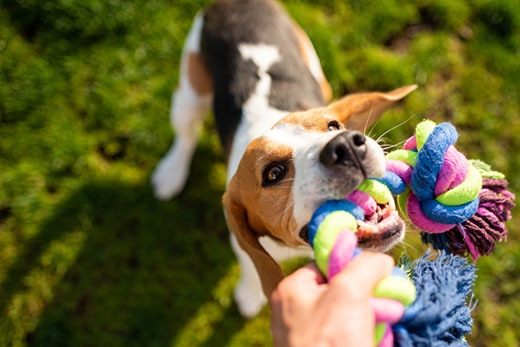 Beagle plays tug of war with a colorful dog rope toy outdoors.
