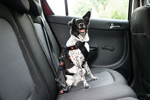 Black and white dog with tongue out is buckled into car backset with dog harness.