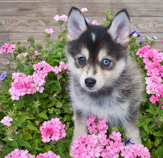 Blue-eyed pomsky puppy sitting in a bed of pink flowers.