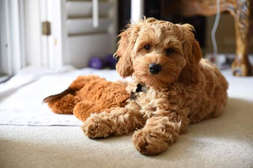 Cute cockapoo puppy laying on carpet next to toy.