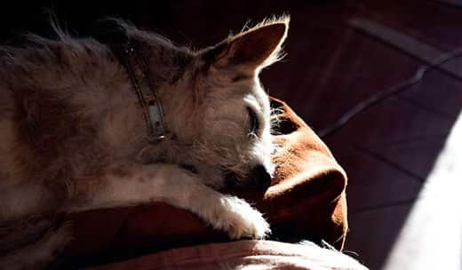 Old dog fast sleeping on the couch in the sun.