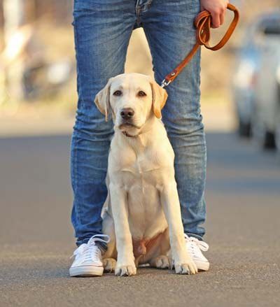 Yellow lab puppy sitting at owner's feet on a leash