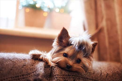 Yorkshire terrier laying on back of sofa on a brown afhan blanket.