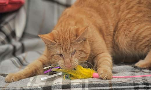 Blind orange cat playing with a feather toy.