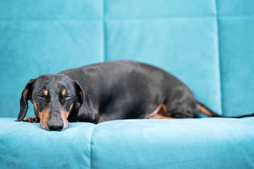 Black and brown dachshund asleep on a light blue couch.