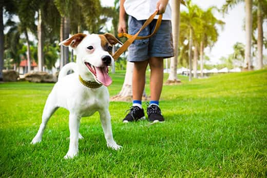 Jack Russell mix dog with owner and leather leash ready to go for a walk in the park.