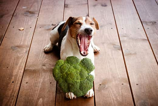 Jack Russell terrier dog lying on the wooden floor yawns with broccoli between paws.